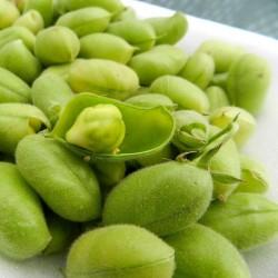 Sementes de Grão-de-bico Branco (Cicer arietinum) 1.85 - 6
