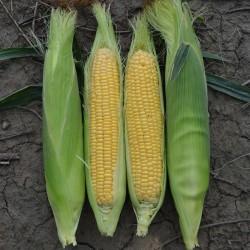 Golden Bantam Sweet Corn Seeds 1.8 - 2