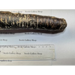 Giant Carrot Seeds Purple Dragon 1.55 - 6