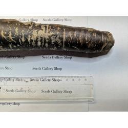 Σπόροι Γίγαντας καρότου Purple Dragon 1.55 - 6