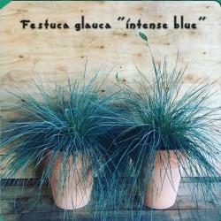 Blue Grass Seeds Festuca Glauca Intense Blue 1.85 - 8