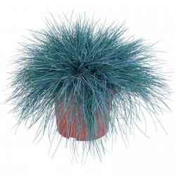 Plava Trava Seme - Festuca Glauca Intense Blue 1.85 - 6