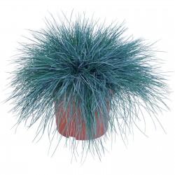 Sementes De Grama Azul Intense Blue 1.85 - 6