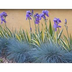 Blue Grass Seeds Festuca Glauca Intense Blue 1.85 - 7