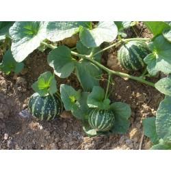 Semi di Melone Tigre Dall'Armenia 2.95 - 6
