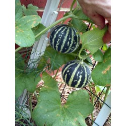 Armenische Tiger Melone BIO Samen 2.95 - 7