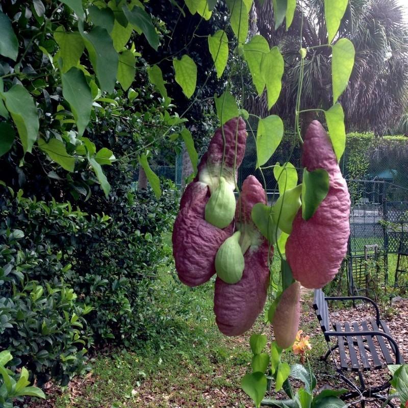 Sementes Papo De Peru Planta Carnivora 2.45 - 10