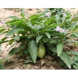 Pepino Seme (Solanum muricatum) 2.55 - 5