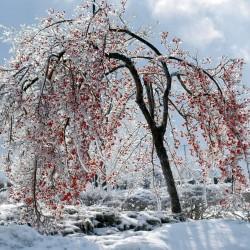 Japanska Jabuka Seme (Diospyros Kaki) 3.55 - 2