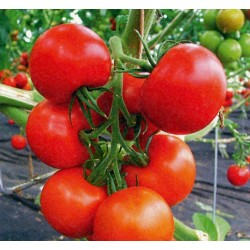 Tomato Novosadski Jabucar 50 seeds 1.5 - 2