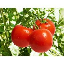 Tomatensamen Novosadski Jabucar 50 samen 1.5 - 3