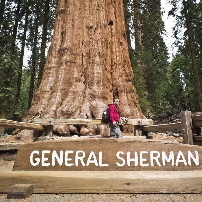 Semi di Sequoia Gigante Bonsai 2.35 - 5