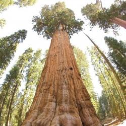 Sementes de Sequoia-gigante Bonsai 2.35 - 1