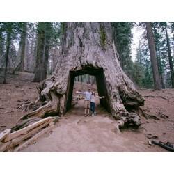 Semi di Sequoia Gigante Bonsai 2.35 - 2