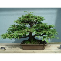 Giant Sequoia Seeds Bonsai 2.35 - 3