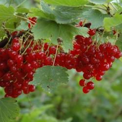 Sementes de Groselheira Vermelha (Ribes rubrum) 1.95 - 3