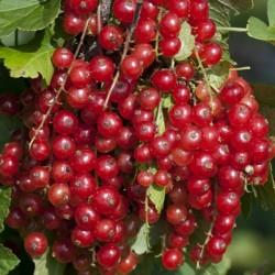 Sementes de Groselheira Vermelha (Ribes rubrum) 1.95 - 4