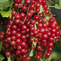 Semi di Ribes rosso (Ribes rubrum) 1.95 - 4