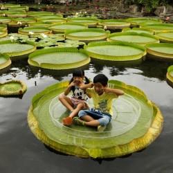 Σπόροι GIANT WATER LILY (Victoria Amazonica) 2.25 - 11