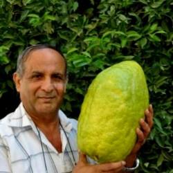 Giant Corsican Citron Seeds - 4 kg fruit (Citrus medica Cedrat) 3.7 - 1
