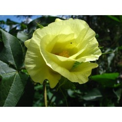 Pamuk Seme (Gossypium herbaceum) 2 - 3