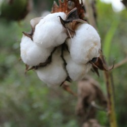 Cotton Seeds 2 - 1