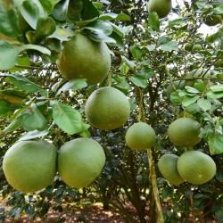 Sementes de Cimboa, Pomelo, laranja-natal 1.95 - 1