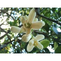 Sementes de Cimboa, Pomelo, laranja-natal 1.95 - 2