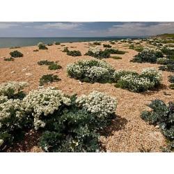 Sementes de Crambe - Seakale (Crambe maritima) 1.55 - 3