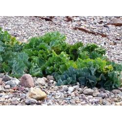 Sementes de Crambe - Seakale (Crambe maritima) 1.55 - 5