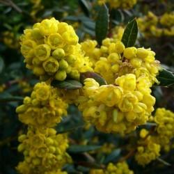 Sementes de Berberis julianae 1.5 - 3
