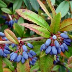 Sementes de Berberis julianae 1.5 - 4