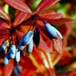Sementes de Berberis julianae 1.5 - 5