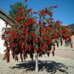 Weeping Bottlebrush Seeds 2.5 - 1