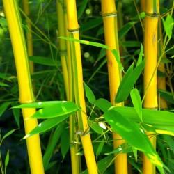 Sementes de Bambu CHOCOLATE (Fargesia fungosa) 2.25 - 3