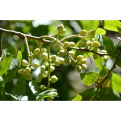 Mt. Atlas mastic tree Seeds (Pistacia atlantica) 2.5 - 1