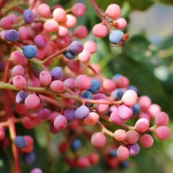 Sementes De Pistacia (Pistacia atlantica) 2.5 - 2