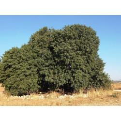 Pistaci Seme (Pistacia atlantica) 2.5 - 3