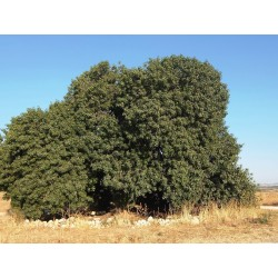 Sementes De Pistacia (Pistacia atlantica) 2.5 - 3