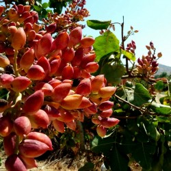 Mt. Atlas mastic tree Seeds (Pistacia atlantica) 2.5 - 4