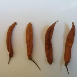 Chili Aji Patillo Seeds (Capsicum pendulum) 2.25 - 1