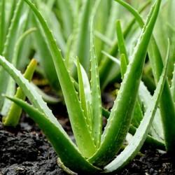Aloe vera Seeds (Aloe barbadensis) 4 - 5