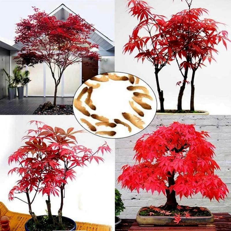 Japanese Red MapleSeeds (Acer palmatum) 1.95 - 1