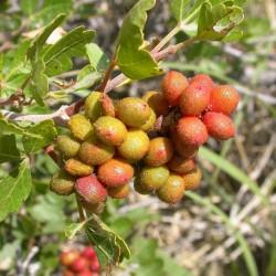 Sementes de Skunkbush Sumac (rhus trilobata) 1.9 - 2