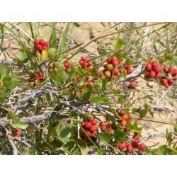 Sementes de Skunkbush Sumac (rhus trilobata) 1.9 - 6