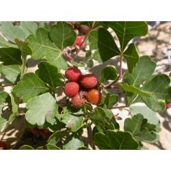 Semi di RHUS TRILOBATA Frutta Esotica Sumac 1.9 - 7