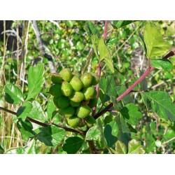 Sementes de Skunkbush Sumac (rhus trilobata) 1.9 - 8