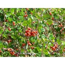 Semi di RHUS TRILOBATA Frutta Esotica Sumac 1.9 - 9
