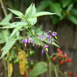 Bittersweet Seeds (Solanum dulcamara) 1.75 - 1