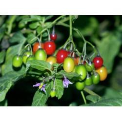 Razvodnik Seme, Paskvica (Solanum dulcamara L.) 1.75 - 2